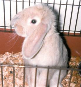 Cupid, a mini-lop rabbit who loved to give and get affection